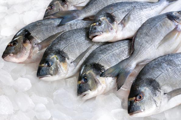 سمك الزبيدي Morvish